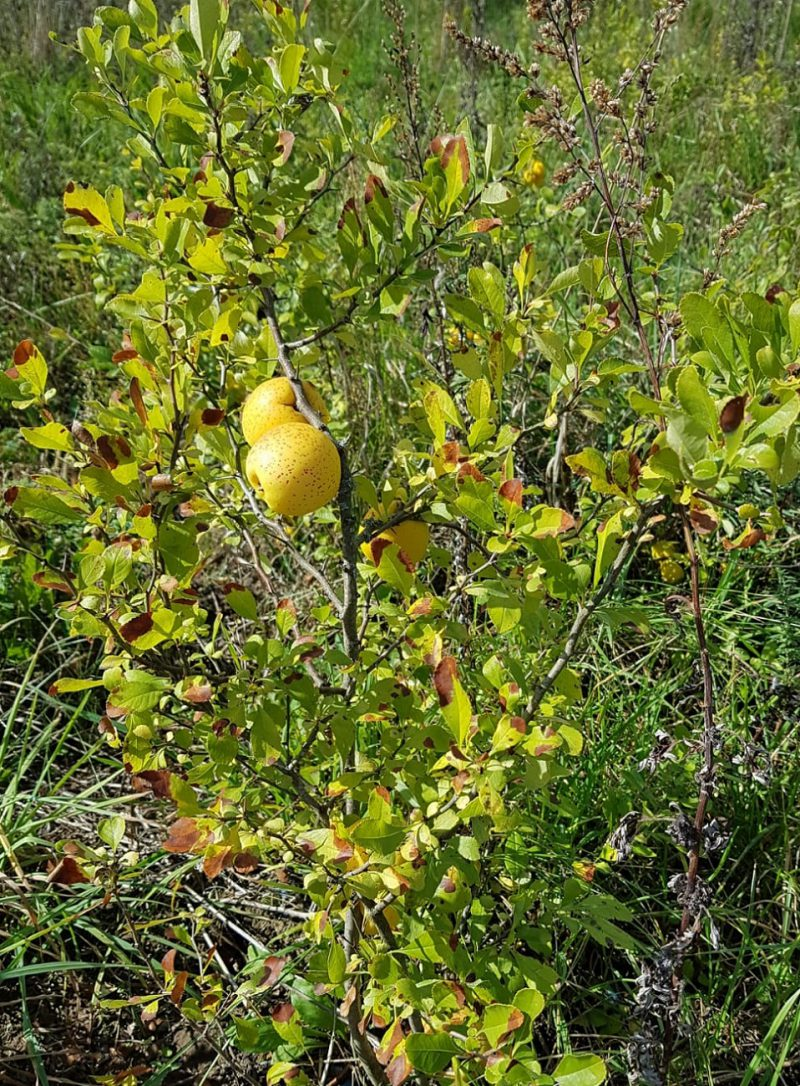 Lietuviskoji citrina - Vizbarų ūkis